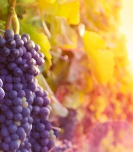 Grapes Cropped 800X382