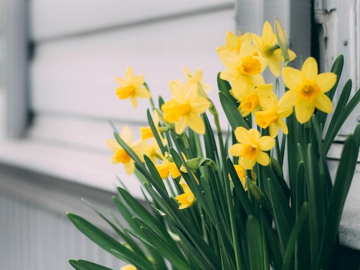 Sober Spring daffodils 1018048